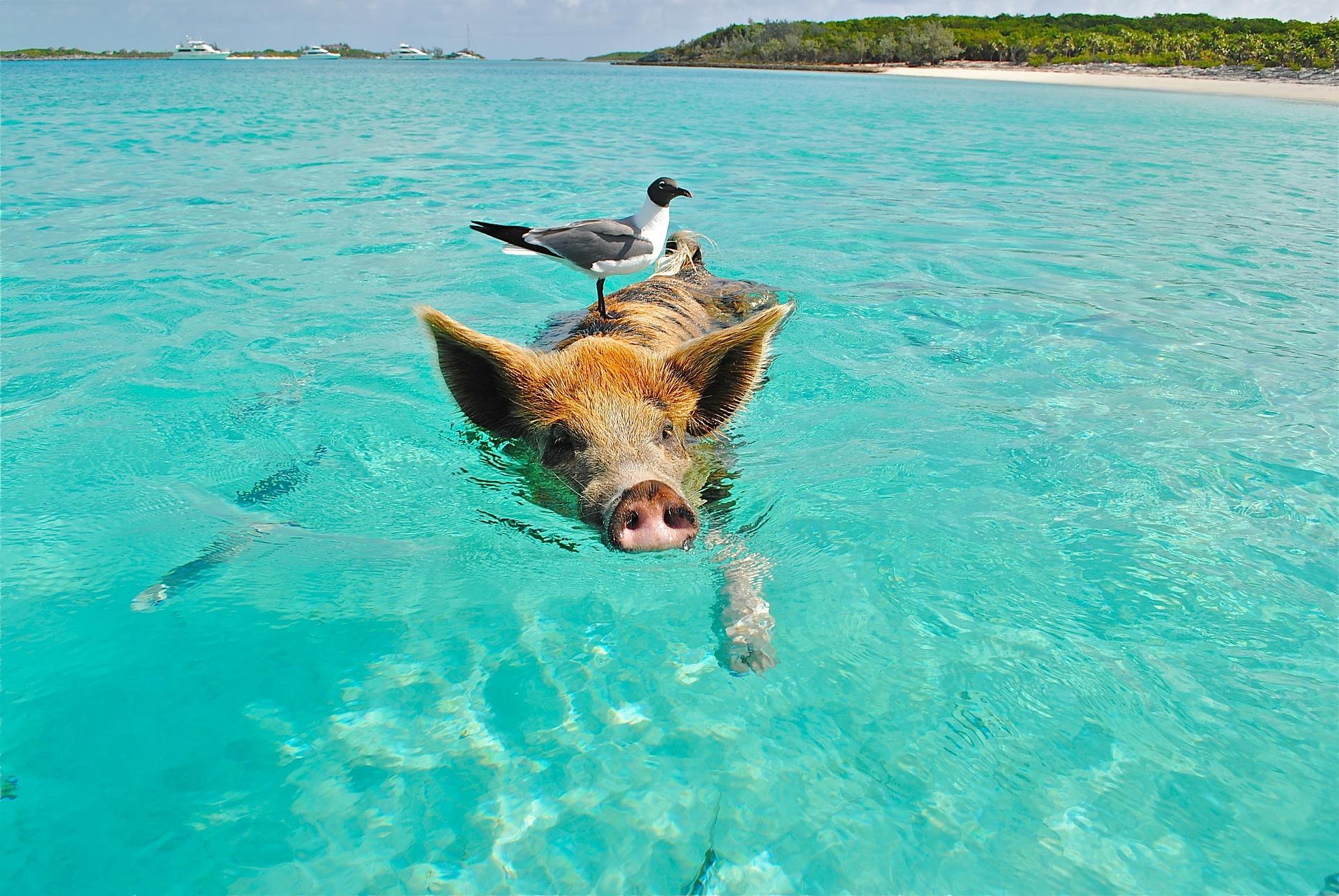 Esel von den Bahamas