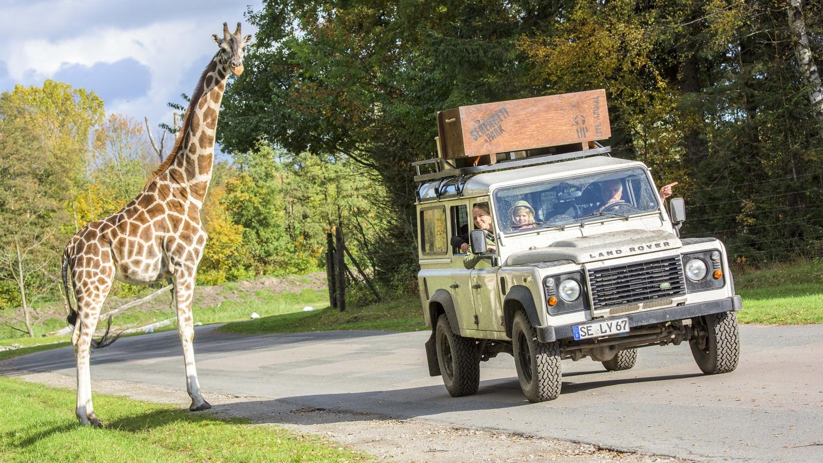 Giraffe in der Serengeti-Safari