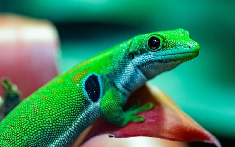 Freilaufender Gecko Biosphäre Potsdam