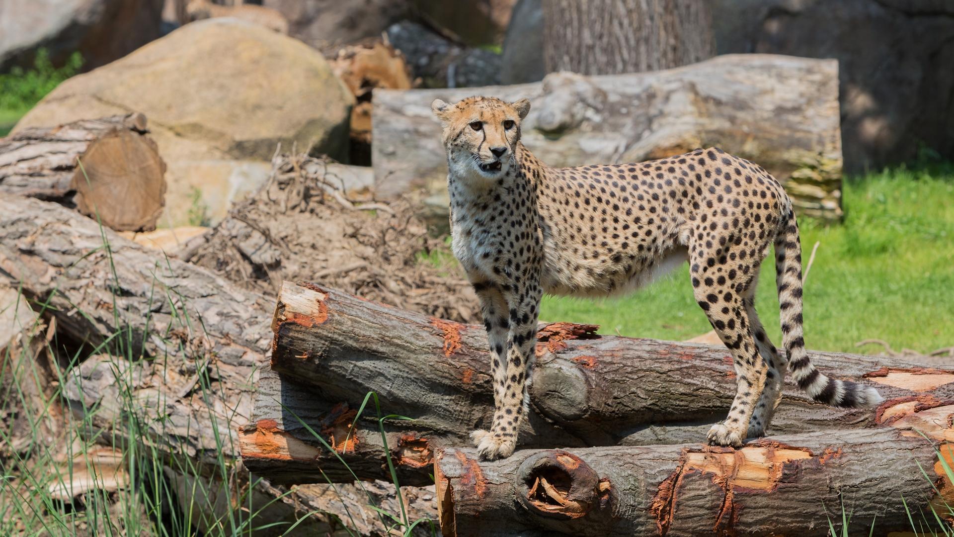 Leopard posiert und beobachtet seine Beute im Zoo