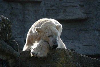 Tiergarten Schönbrunn Polarbär