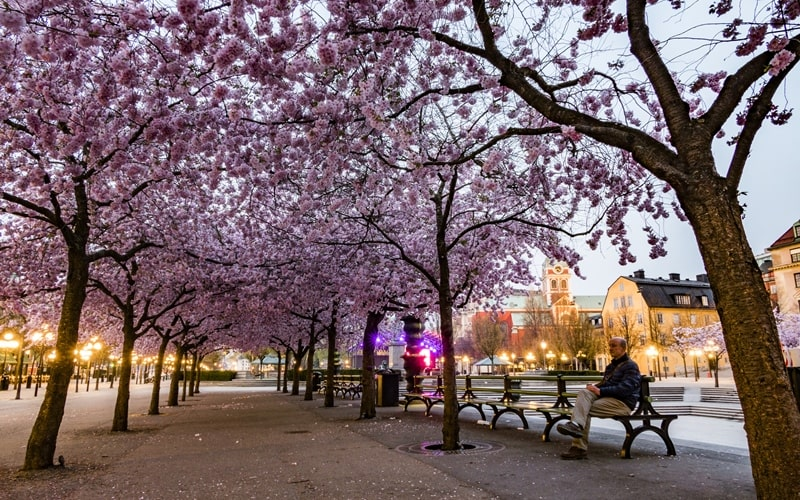 Kirschblüte im Königsgarten Stockholm
