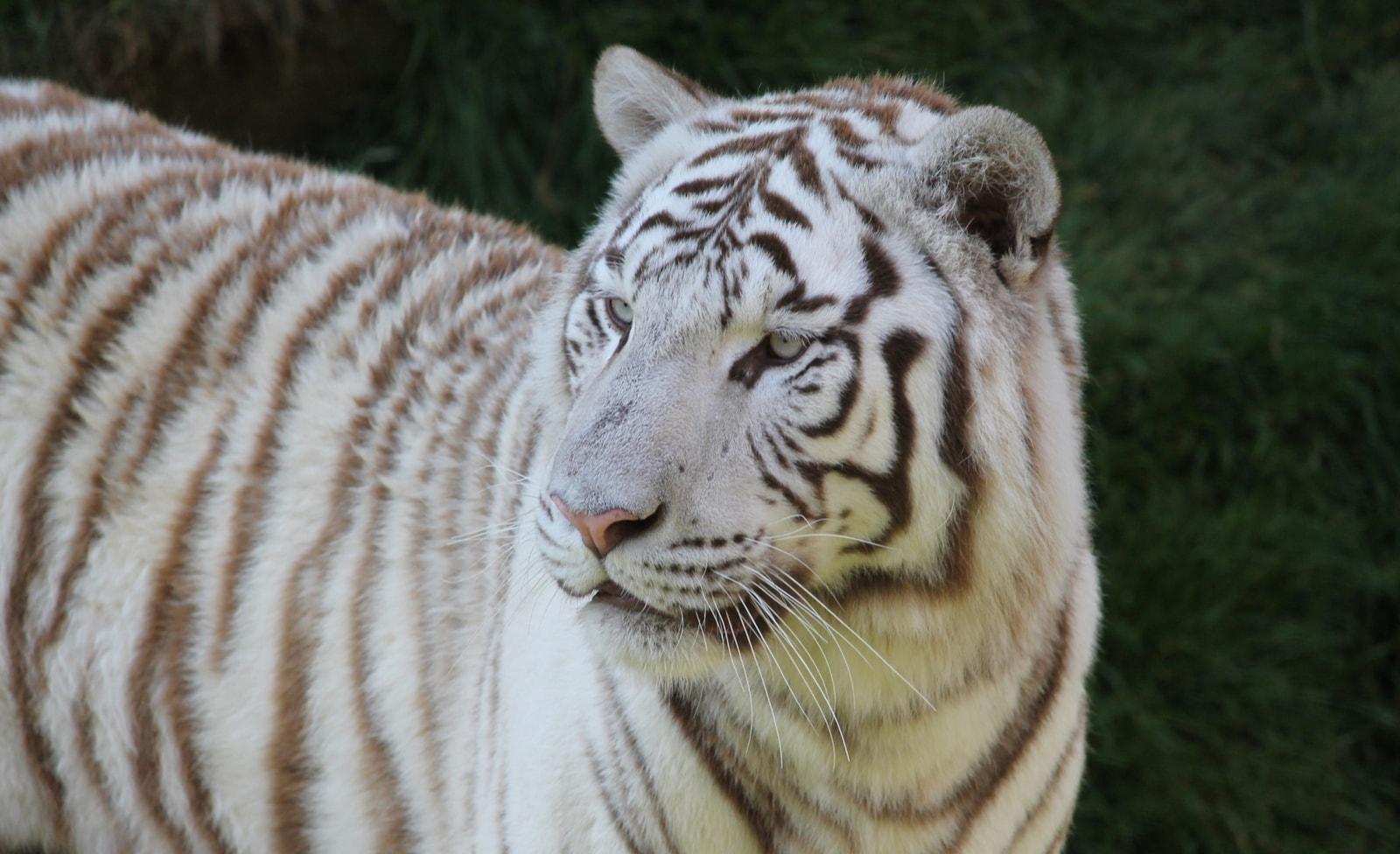 Weißer Tiger in Pairi Daiza