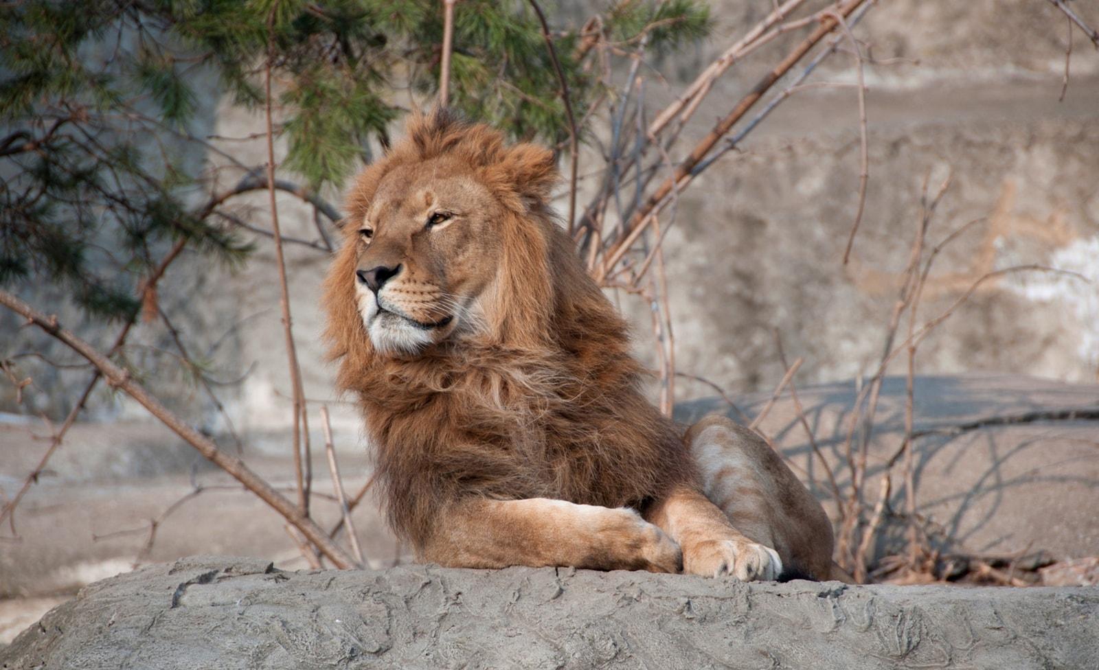 Löwe im Warschauer Zoo