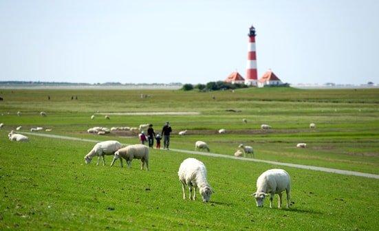 Schafe und Leuchtturm in Norddeutschland