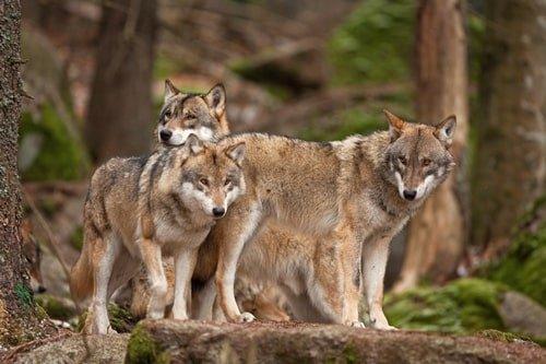 Wölfe im Wildpark