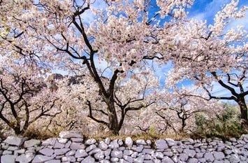 Mandelblüte Mallorca Februar