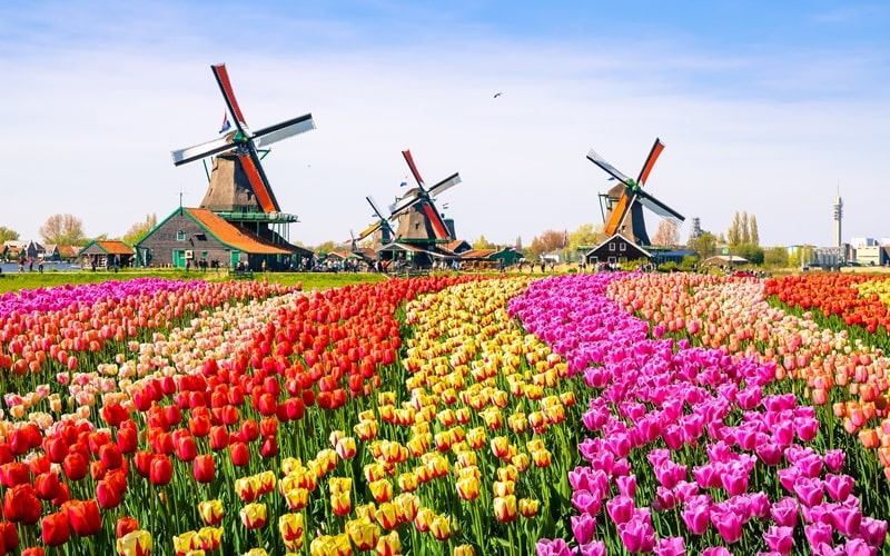 Tulpenblüte Alkmaar