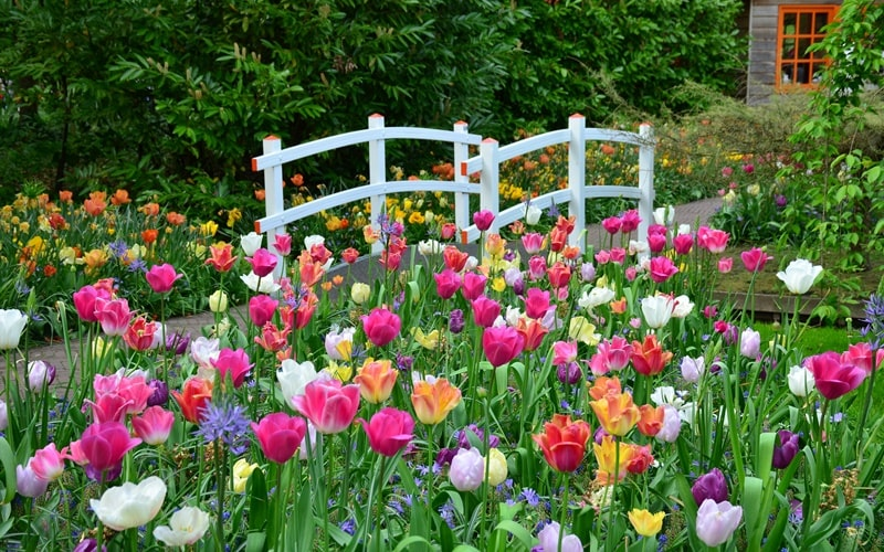 Tulpenblüte Limmen