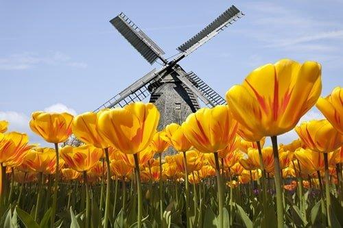 Tulpen in Holland