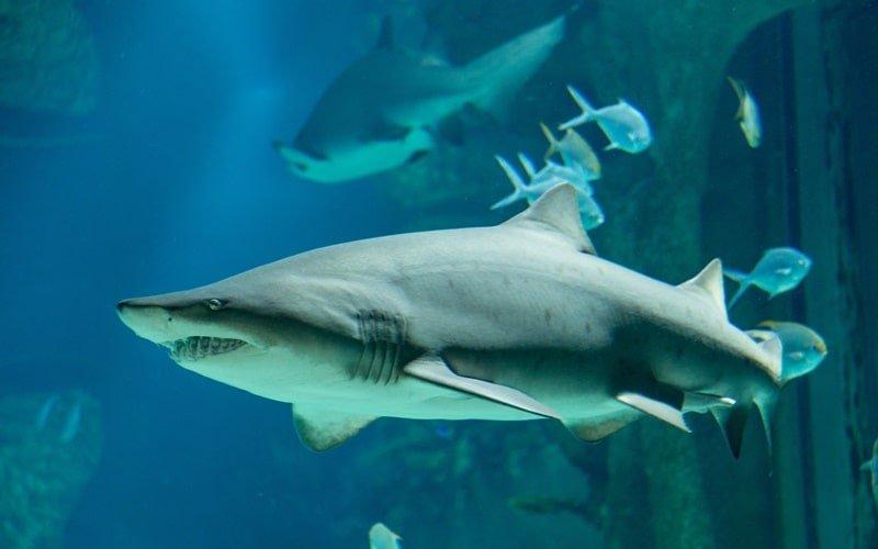 Tauchen Haie Palma