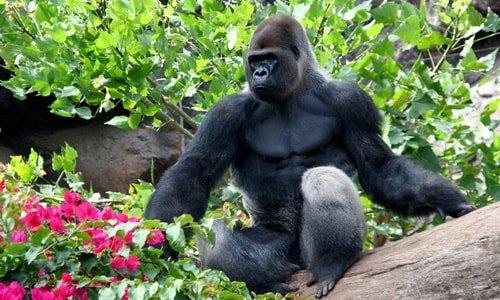 Gorilla Loro Park