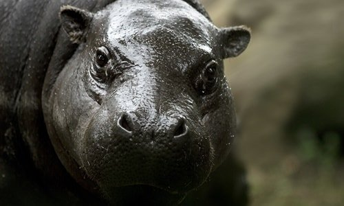 Hippo Loro Park