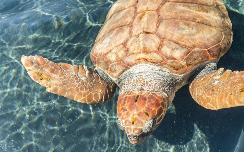 Strände Fuerteventura Schildkröten