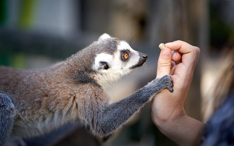 Oasis Park Lemuren