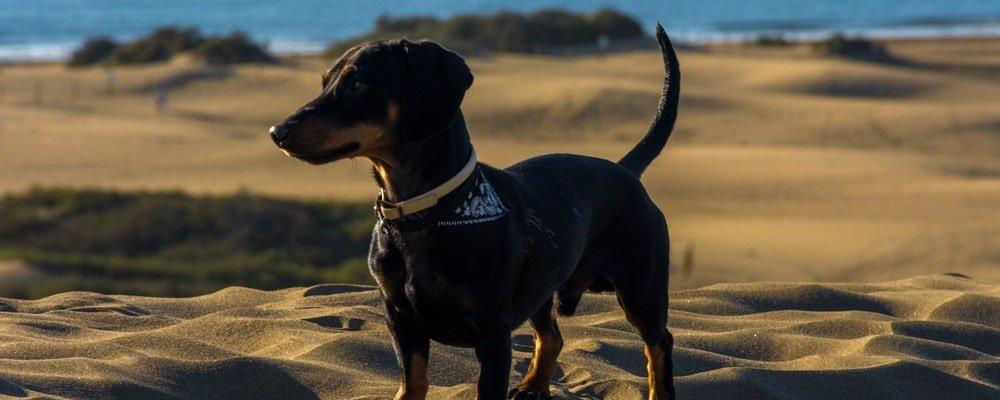 Gran Canaria Hund Dünen
