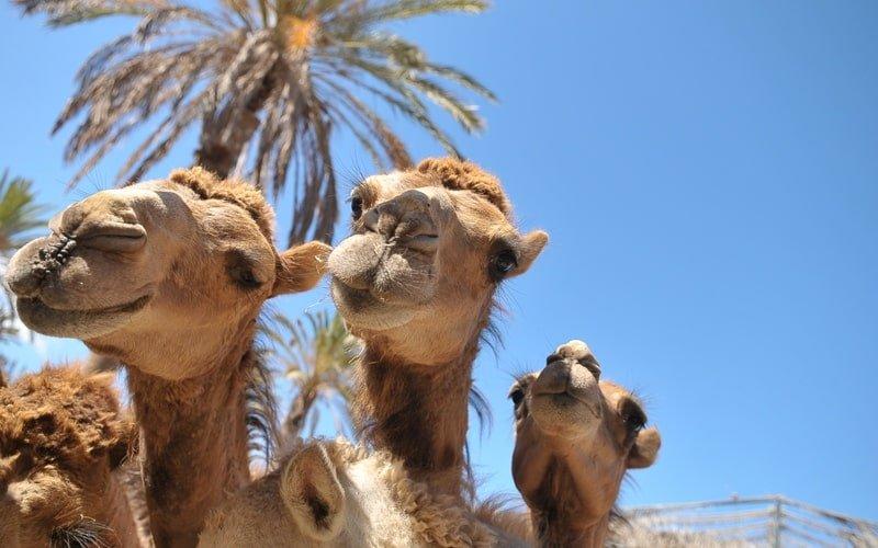Kamelsafari Oasis Park Fuerteventura